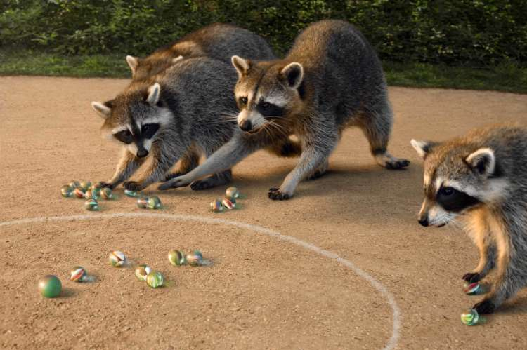 Raccoons Playing Marbles